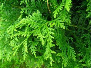 Thuja-levensboom